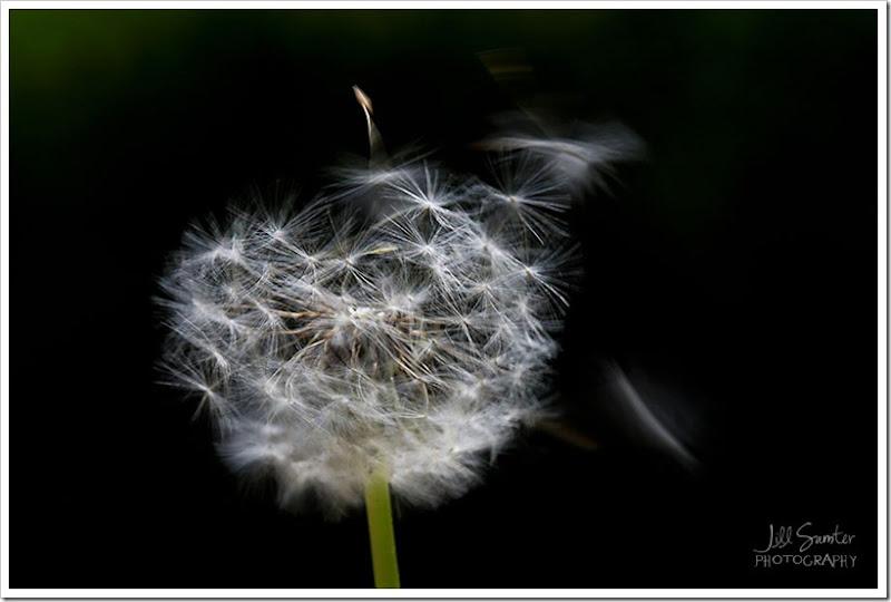 dandelions-3463