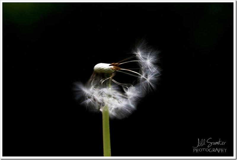 dandelions-3466