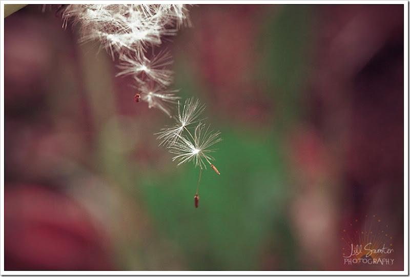 dandelions-3474