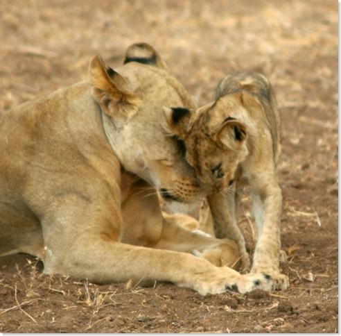 57652_Lioness & Cub