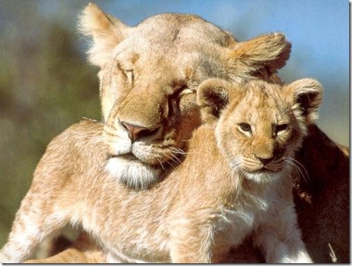 LionAndCub9