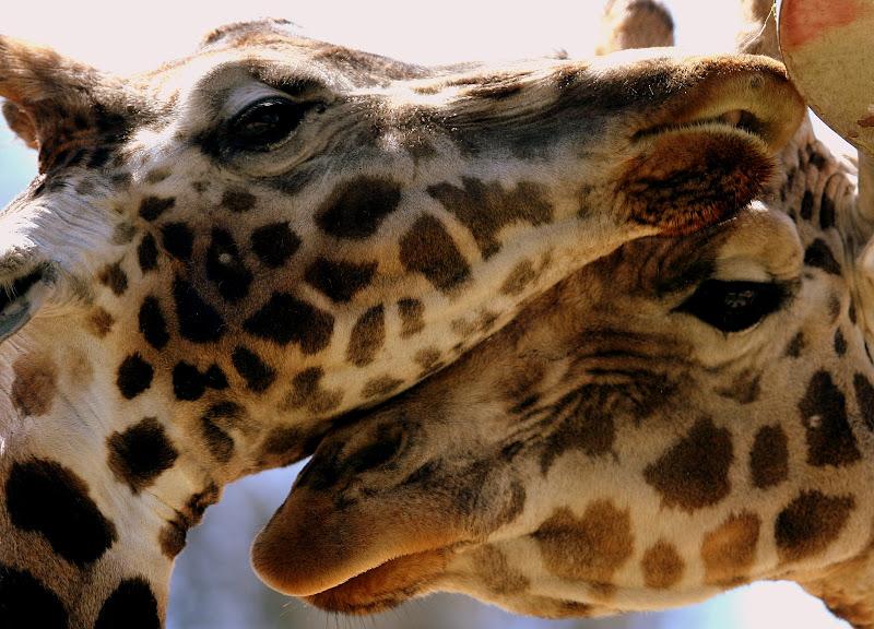 Giraffe Love Photography