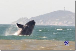 O espetáculo da Baleia Franca em Laguna