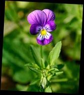 purple_pansy_lg