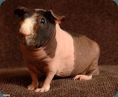 skinny pig 2