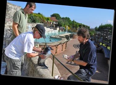 Vet visit 28 July 10 (re-sized) microchipping penguin chicks