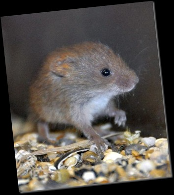 Baby Harvest Mouse resized & cropped DSC_0389
