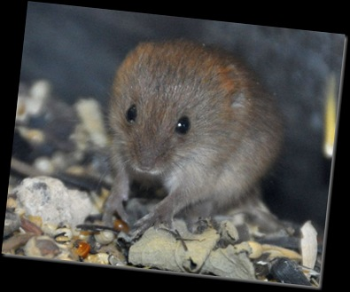 Baby Harvest Mouse (cropped)DSC_0387