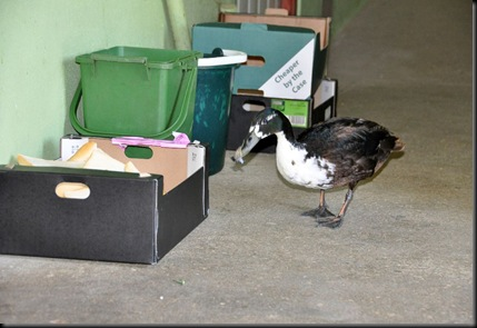 Duck next to bread crust box (resized)