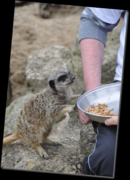 Al Wyman feeding Meerkats (2) resized