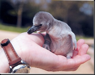 baby penguin in palm of hand