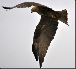 Black Kite (5) resized