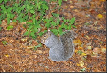 Squirrel (resized) at Paignton