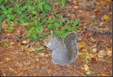 Squirrel (resized) at Paignton