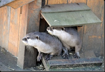 Two Otters looking at arrival of videographer