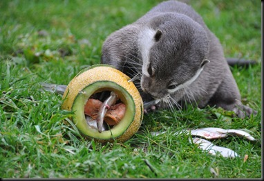 Otter with paw inside enrichment feeding melon