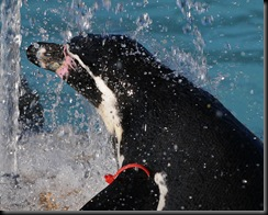 Penguin splashed in water (D Nordell 2010)