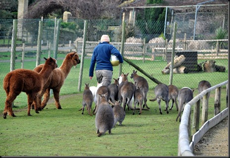 Fern at feeding time in Wallaby Walkabout Jan 11