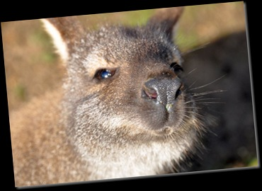 Wallaby face close-up Feb 11