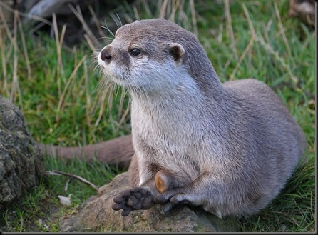 Asian Short-Clawed Otter with stone (flipped)