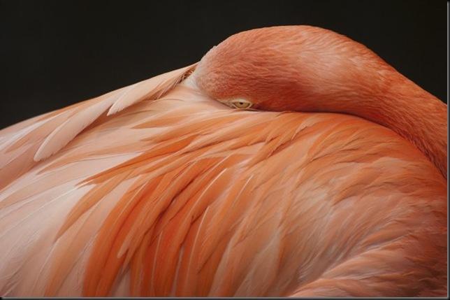 _DSC4972 pink flamingo