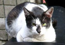 黑白小花貓