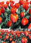 Keukenhof Slideshow