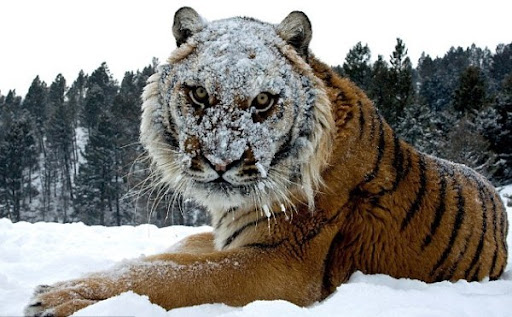 A Siberian tiger glares into the lens as British photographer Jonathan Griffiths inches close to get his shot.