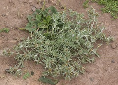 Cudweed