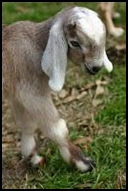 Blue heron farm goat