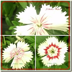 dianthus collage