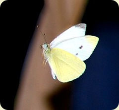 "Cropped from ""Butterfly"" by Claudmey"