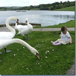 swans 012