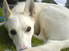 Mira, vit Alaska Huskey-tik