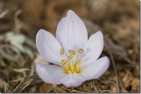 Colchicum triphyllum1
