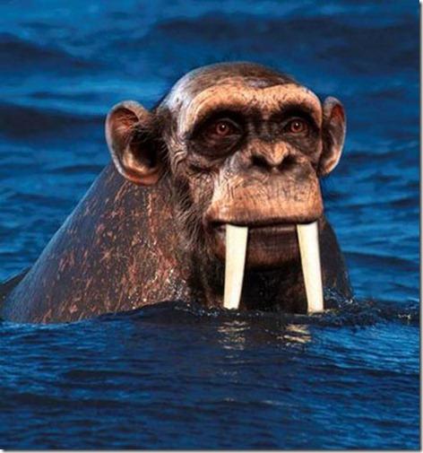chimpamorsa