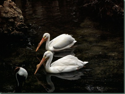 2 white pelicans