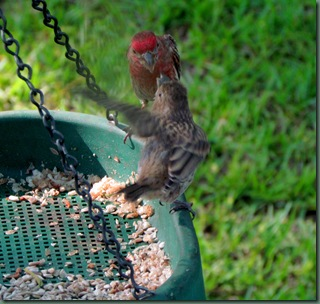 Mama Purple finch feeding baby