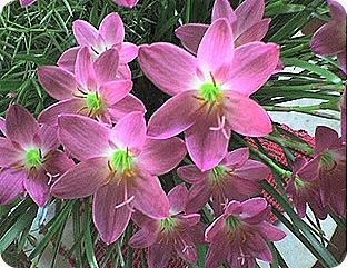 flores25