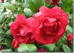 rosas_27