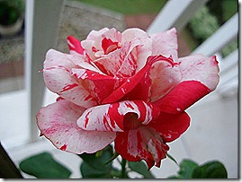 rosa_anderson14