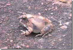 30_Sand Frog