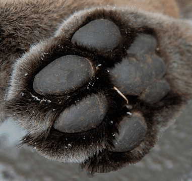 800px-Cougar-paw.png