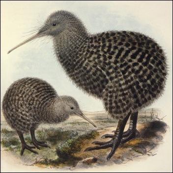 kiwi Apteryx haastii en Apterix owenii