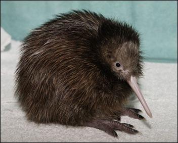 kiwi jong
