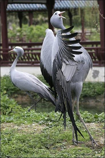 paradijskraanvogel1