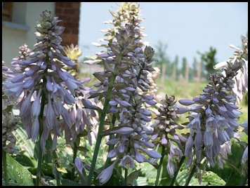hosta (foto is van internet)
