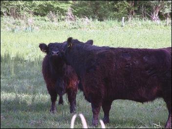 Kussende koeien onder de Maretak