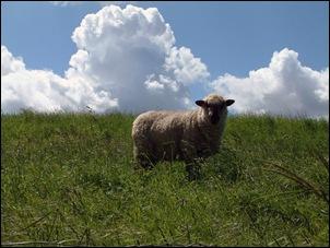 een prachtig schaap