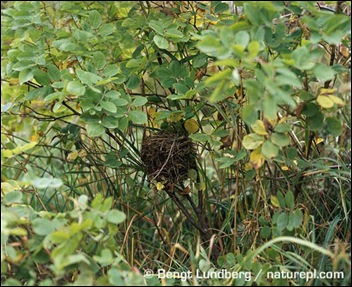 Common-dormouse-nest